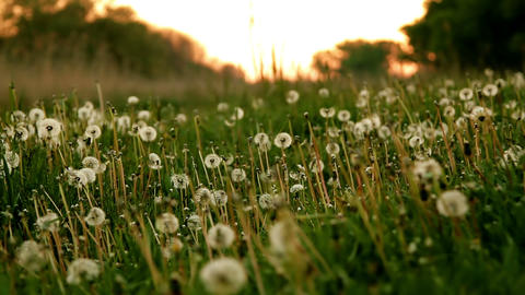 Dandelion Field At Sunrise. Twilight, Dew stock footage