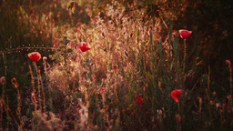 Meadow of poppies in rays of evening sun Footage