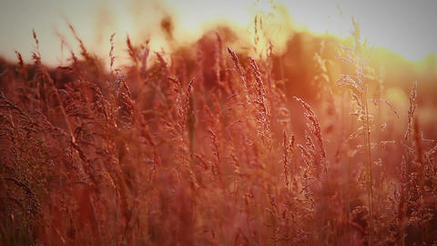 spikelets meadow in rays of evening sun Footage