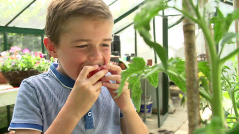 Boy Picking And Eating Home Grown Tomatoes In Gree Footage