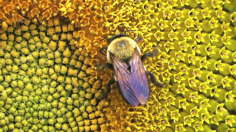 Bumble Bee on Sunflower 02 Stock Video Footage