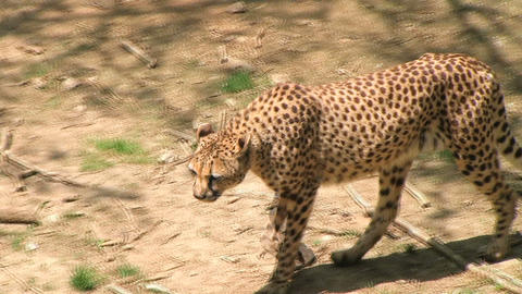Cheetah Foraging Stock Video Footage