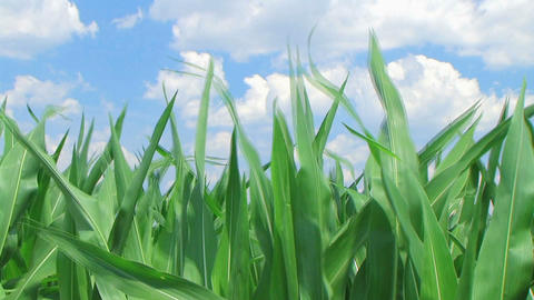 Corn Against Sky Stock Video Footage