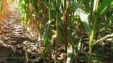 Cornstalk Tilt stock footage