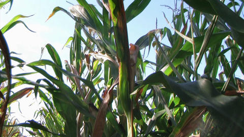 Cornstalk Tilt Stock Video Footage