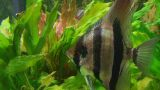 Angelfish In Aquarium 02 stock footage