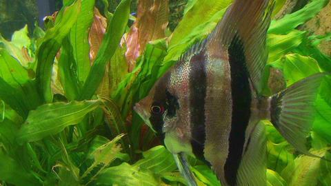 Angelfish in Aquarium 02 Footage