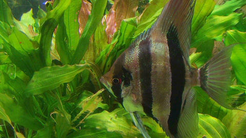 Angelfish in Aquarium 02 Stock Video Footage