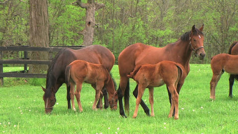 Foal Nursing Stock Video Footage