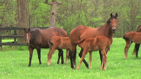 Foal Nursing Stock Video Footage