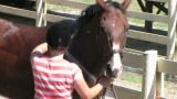 Horse Being Groomed stock footage