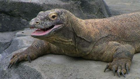 Komodo Dragon Yawning Stock Video Footage