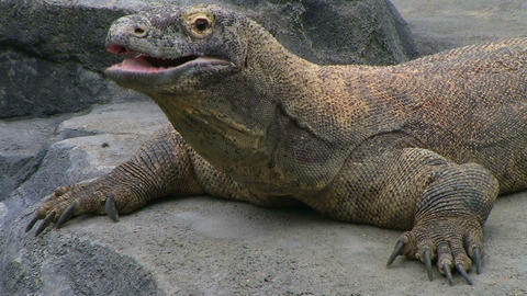 Komodo Dragon Yawning Footage