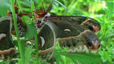 Cecropia Moths Mating 02 Footage