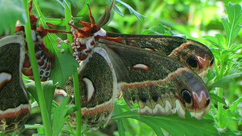 Cecropia Moths Mating 02 Stock Video Footage