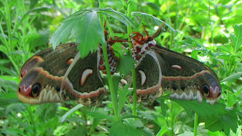 Cecropia Moths Mating Stock Video Footage