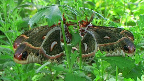 Cecropia Moths Mating Footage