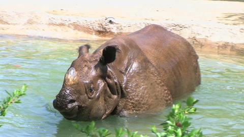 Rhinoceros Bathing Stock Video Footage