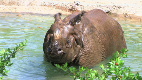 Rhinoceros Bathing Footage