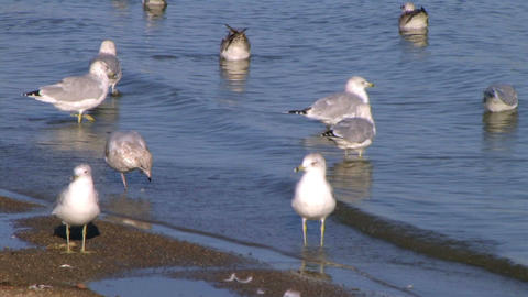 Freshwater Seagulls on Shore Stock Video Footage