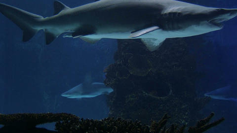 Sharks Swimming 04 Stock Video Footage