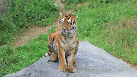 Tiger Stretching Stock Video Footage