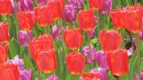 Tulip Garden Stock Video Footage