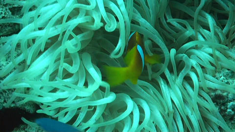 Anemonefish Footage