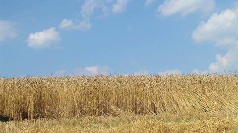 Combine Harvesting Wheat 04 Stock Video Footage