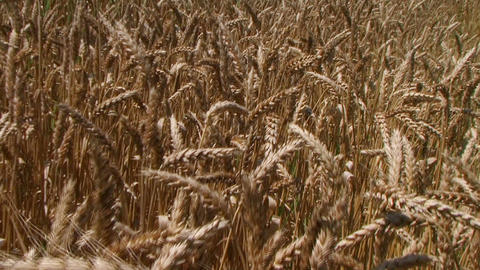 Traveling Through Wheat Field Footage