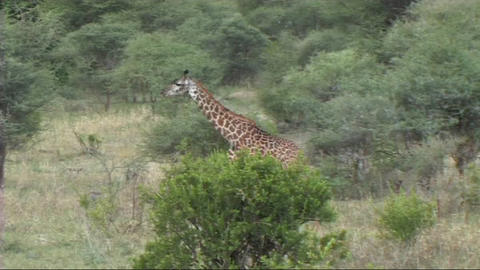 Giraffe walking Footage