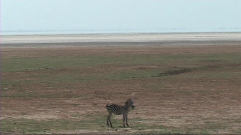 Zebra grazing Footage