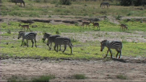 Zebra walking Stock Video Footage