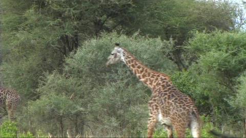 Giraffe walking Footage