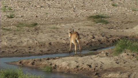 Reetbuck walking Stock Video Footage