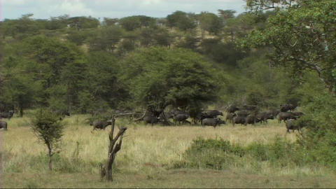 Herd of buffalo Footage