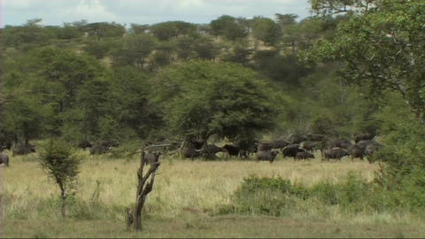 Herd of buffalo Stock Video Footage