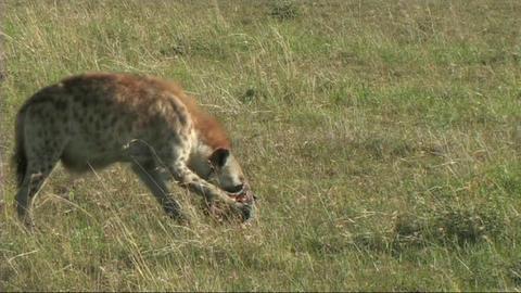 Hyena feeding in the Serengeti Stock Video Footage