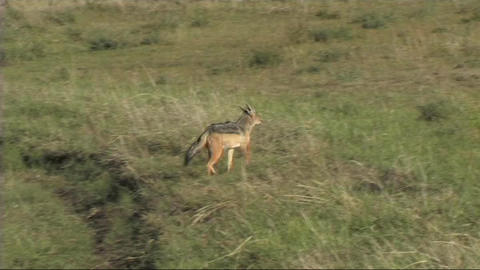 Black-backed jackal walking Stock Video Footage