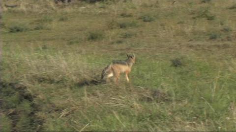 Black-backed jackal walking Footage