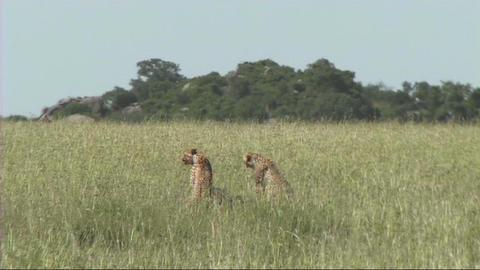 Cheetahs making a kill Live Action