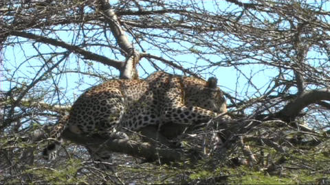Leopard with a kill Stock Video Footage