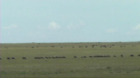 Migration of wildebeest Footage