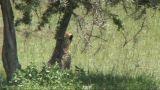 Cheetah Sitting stock footage
