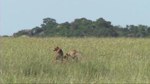 Cheetahs resting Footage