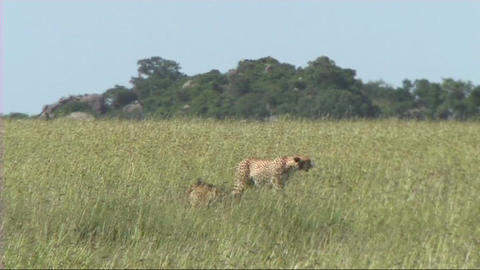 Cheetahs resting Stock Video Footage