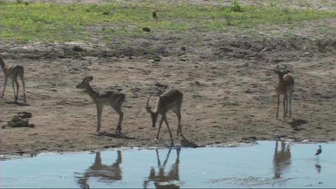 Impala drinking Footage