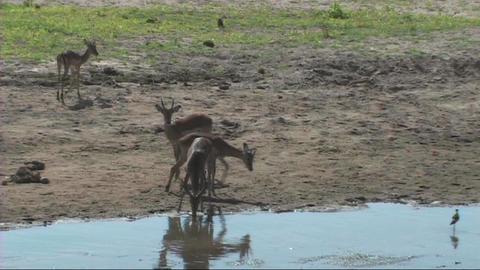 Impala drinking Stock Video Footage