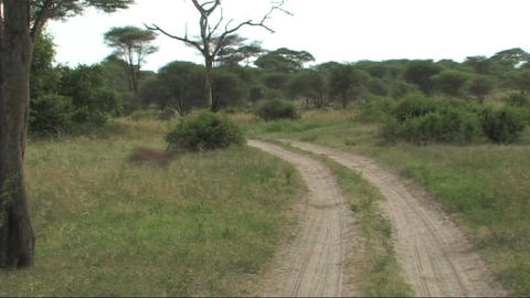 Impala walking Stock Video Footage
