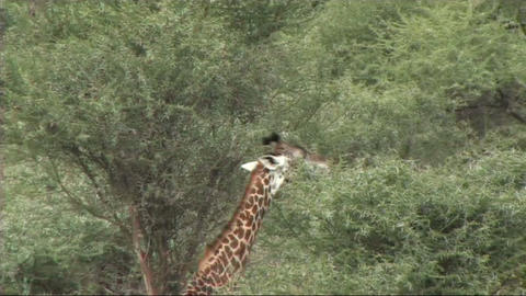 Giraffe feeding Stock Video Footage